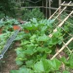 Urban homestead cucumbers
